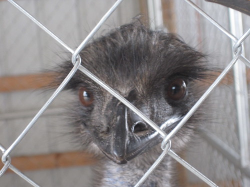 emu at the Washington County Fair
