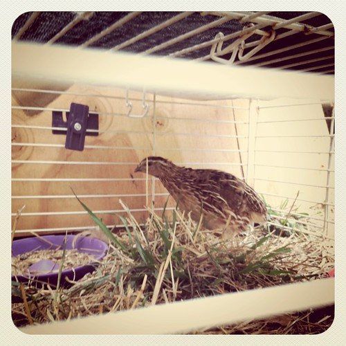 Newest feathered friend- mama quail