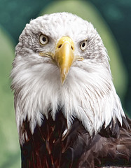 B. Eagle (Jersey JJ) Tags: oregon portland zoo eagle bald topaz lucis