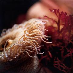 The Life Aquatic (•Sarah P•) Tags: santacruz macro underwater 60mm oceans seaanemone seacreature thelifeaquatic idream textre nikond700 magicunicornverybest sbfmasterpiece flypapertexture pinnaclephotography •sarahp• seymoremarinediscoverycenter sarahputerbaugh