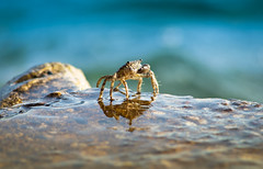 Croatia - Brave Crab - 2 (Macskafaraok) Tags: travel sea summer holiday seaside croatia crab om tenger tengerpart 135mm 2011 utazs nyr nyarals horvtorszg drvenik rk tengeri tamron135mmf28