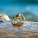 Croatia - Brave Crab - 2
