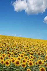 Sunflowers fields (*Marta) Tags: summer sunflowers fields summertime gettyimagesitalyq1 gettyimagesgreece1 gettygreecefamily gettyimagesitalyq2