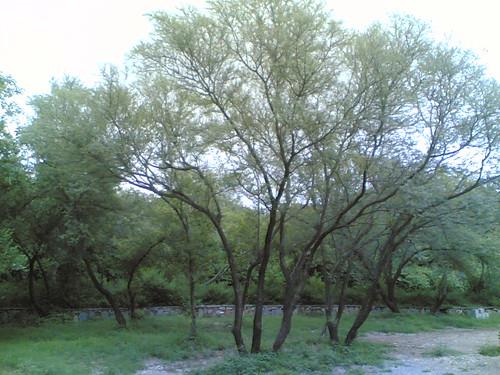 Tree006