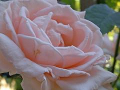 Breath of Life Rose (triciawd) Tags: toronto backyard lily jasmine clematis lavender fuschia salvia daylily hydrangea petunia cosmo gaillardia gladiola allium delphinium stargazerlily liatris hensandchicks fragrantcloud portulaca browneyedsusan malva butterflyweed antiqueroses tigerlilies cleome hostaflowers edenrose gayfeather bonicarose icebergrose souvenirdelamalmaison phloxdavid sunspriterose thefairyrose nokian8 yvespiagetrose heucheraflowers roseofsharontree roseofsharonflowers grussanachen bonanzadaylily nicotinaflowers moulineuxrose grahamthomasroses creamdropdaylily breathofliferose scentsationrose