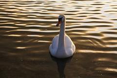 IMG_6035 (christophemurphy) Tags: sunset lake swan boating rickmansworth aquadrome