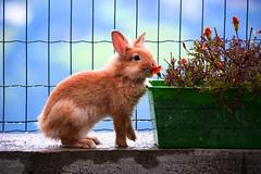 Coniglio che mangia i fiori di Laura (Anto57 -) Tags: flowers rabbit niceshot fiori coniglio