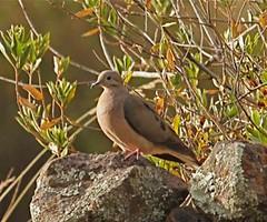 Eared Dove (intitour) Tags: colca eareddove