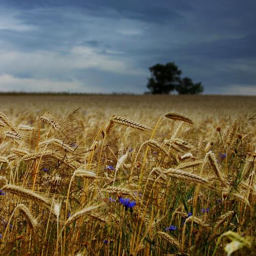 フリー写真素材, 自然・風景, 田畑・農場, 小麦・コムギ,