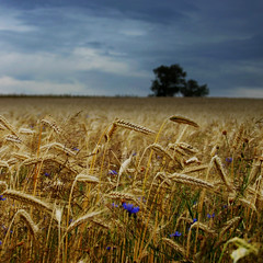 [Free Image] Nature / Landscape, Fields / Farm, Wheat, 201109080700