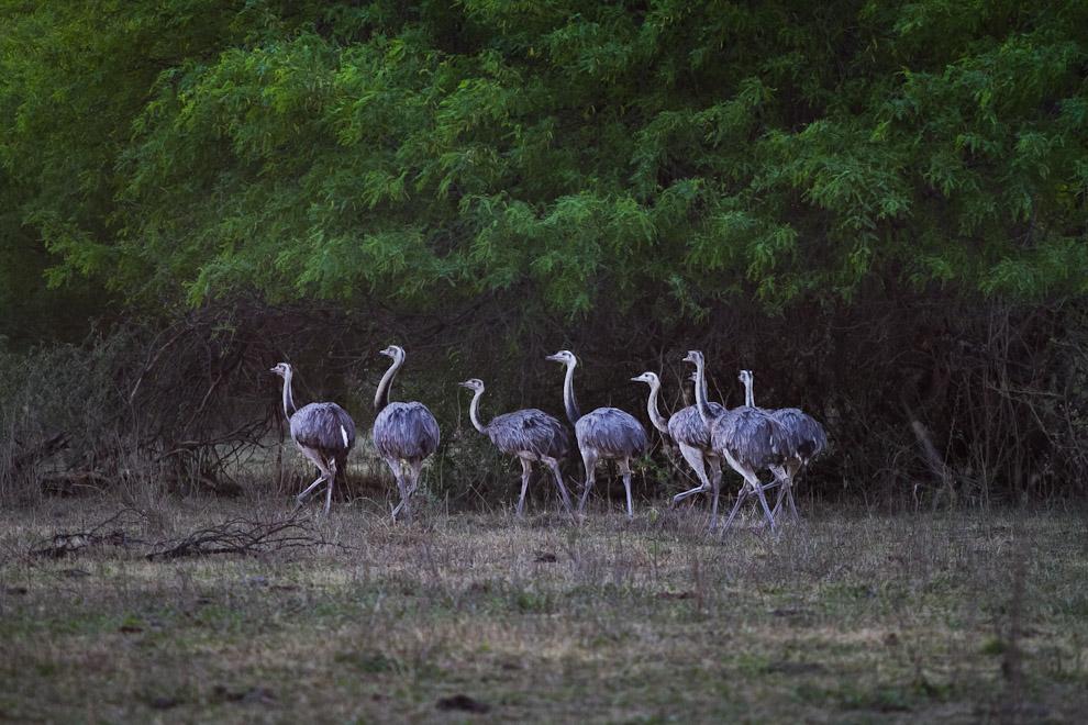 Un gran grupo de ñandú guazú, parientes del avestruz africano, que vive en grupos de entre 4 a 20 individuos, pastan en un claro de la vegetación chaqueña, rodeados de arbustos espinosos, en las cercanías de la Colonia Menonita de Paratodo. (Tetsu Espósito)