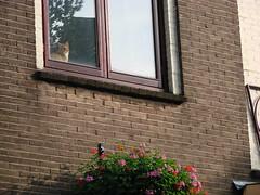 Cat and Flowers (indigo_jones) Tags: flowers cats holland cute window netherlands ginger katten kat utrecht tabby nederland adorable tabbies bloemen marmalade raam