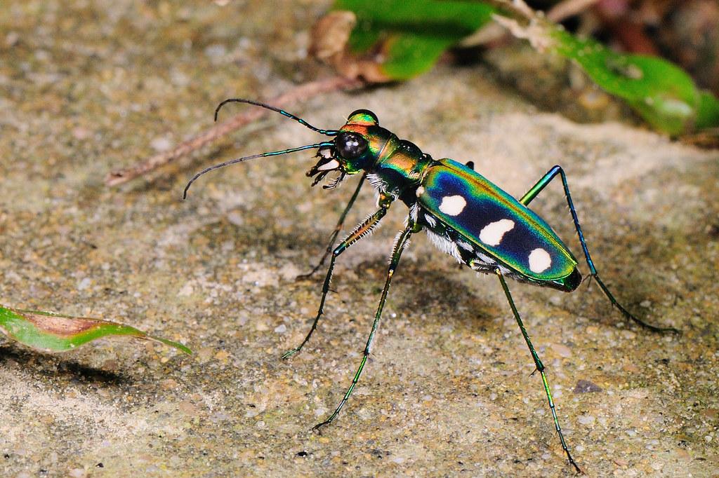 八星虎甲蟲 Cosmodela batesi