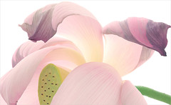 Lotus Flower petal / petals - IMG_6156-1250 (Bahman Farzad) Tags: flower macro yoga petals peace lotus relaxing peaceful petal meditation therapy lotusflower lotuspetal lotuspetals lotusflowerpetals lotusflowerpetal