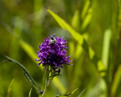 08312011JGW-EmiquonClarkRoad-IronweedWildflowers_MG_1931