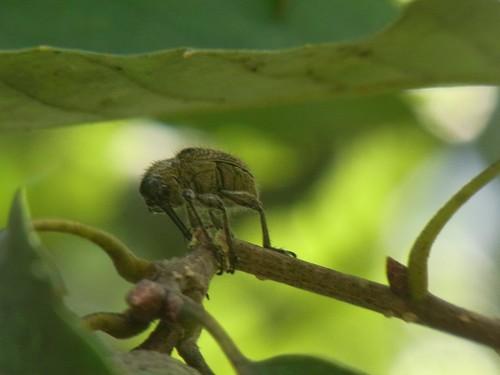 Cyllorhynchites ursulus ハイイロチョッキリ