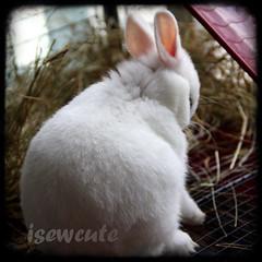 shy bunny ttv by isewcute (isewcute) Tags: ohio pet cute rabbit bunny animal dwarf joy shy cutie september yuki cottontail pinkears isewcute