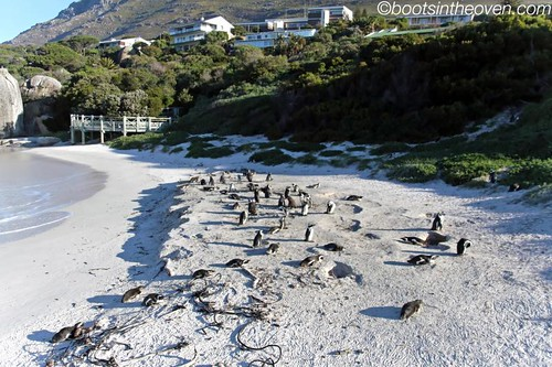 Lots of beach penguins!