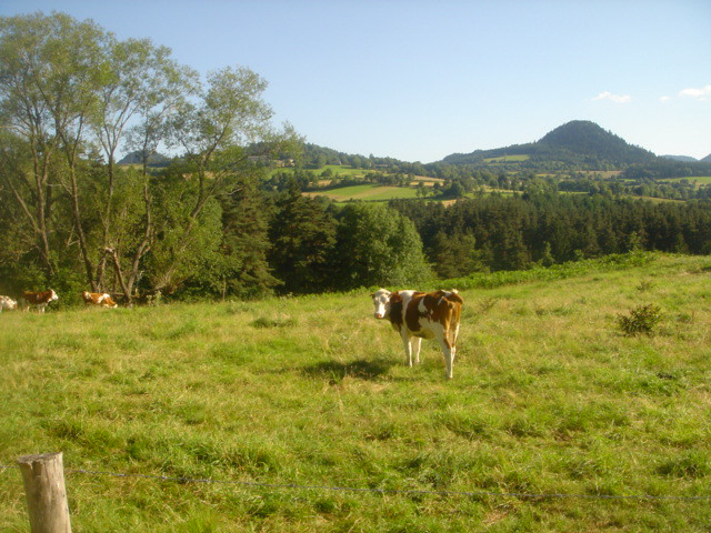 Cow_grazing