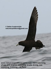 White-chinned petrel Birding Peru (2) (Nature Expedtions 07) Tags: ocean trip sea vacation bird peru nature islands marine holidays tour lima birding reserve stefan national oceanbirds trips guide seabirds paracas pelagic ballestas ballestasislands petrel expeditions pucusana marinebirds birdguide procellariidae pelagicbirds whitechinnedpetrel procellaria procellariaaequinoctialis pelagicbirding aequinoctialis whitechinned nationalreserveofparacas natureexpeditions birdinginperu austermhle birdingperu birdinginlima marinebirdsofperu oceanbirdsofperu pelagicbirdsofperu petrelsofperu