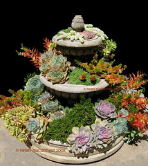 Succulents overflowing (Kelley Macdonald) Tags: succulent succulentpot succulentcontainer