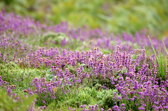 Dorset heathland heather... (SteveJM2009) Tags: uk light summer sun flower colour beauty flora focus dof heather august heath dorset heathland stevemaskell 2011 avonheath