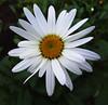 DSC02588 (1) (dandij, 148,000+ views, Thank you for looking.) Tags: flower macro closeup whiteflower daisy flowermacro closeupflower daisymacro sonyhx1