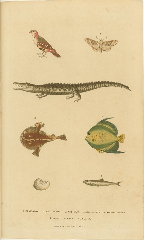 Bird, moth alligator, fish, and seashell - coloured engraving