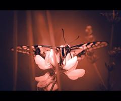 ... e n d ... (swaily ◘ Claudio Parente) Tags: macro fleurs fiori farfalla flowes d300 egna fiabe nikond300 claudioparente swaily saariysqualitypictures