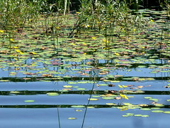 (elinor04) Tags: summer lake reflection nature water yellow hungary lilies transdanubia drske