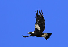 Australian Magpie : I can almost smell Spring ... (Clement Tang ** Busy **) Tags: morning winter bird nature inflight wildlife australia victoria avian birdwatcher australianmagpie gymnorhinatibicen closetonature concordians candlebarkpark