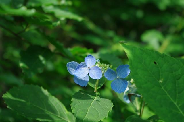 天然紫陽花