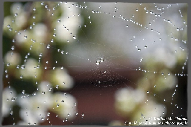 Dew drops and web