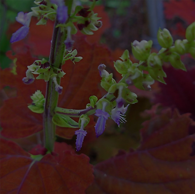 Coleus blooms