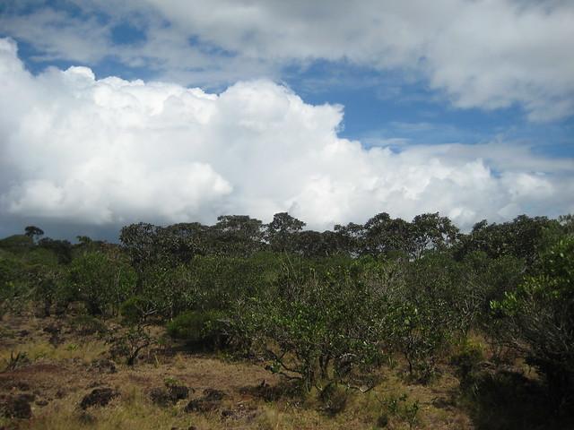 Типичные деревья Маврикия