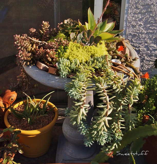 Succulent bird bath in August!