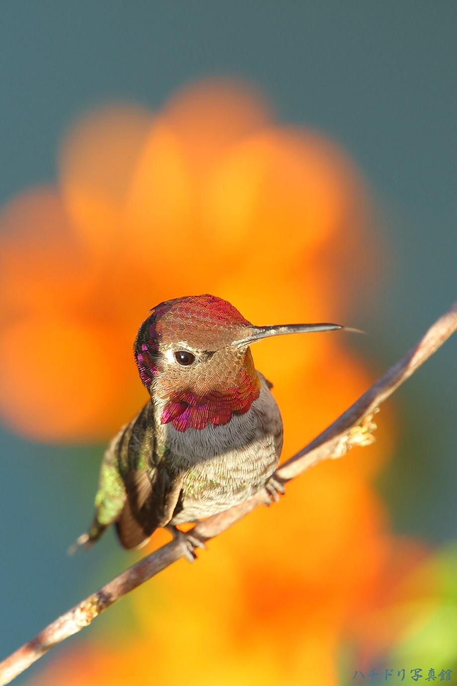 Anna's Hummingbird 082411