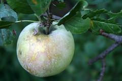 apple diseases (2)