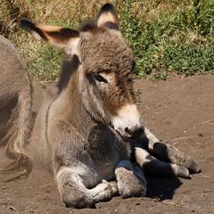 Baby Donkey (gwiwer) Tags: usa cute southdakota blackhills square donkey burro custerstatepark esel foal