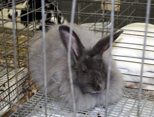 bunny-angora