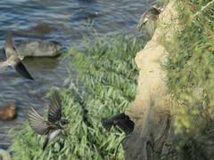 Uferschwalben, NGID1264221558 (naturgucker.de) Tags: deutschland mecklenburgvorpommern ripariariparia rgen uferschwalbe naturguckerde carmindreisbach ngid1264221558