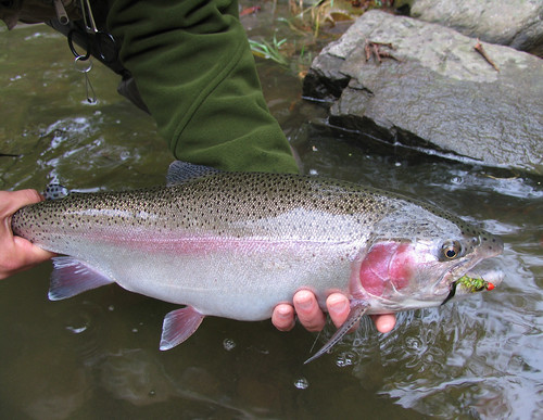 Bridge Rainbow Trout