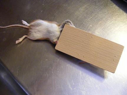 mus liten