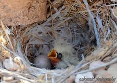 فروخ الحمرة المقرنة (عبدالله العمير a.alomair) Tags: طبيعة طيور فرخ طائر