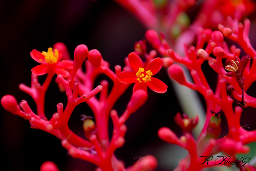 Jatropha Flower