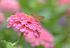 skipper and zinnia (snowshoe hare*(back and slowly catching up)) Tags: flowers butterfly skipper zinnia botanicalgarden