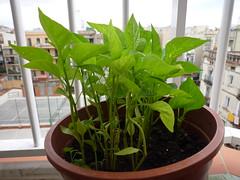hojas de pimiento en maceta