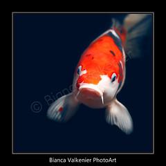BVF070154 (BiancaValkenierPhotoArt) Tags: fish japanese koi carp vis dieren karper