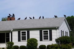 80/365/1175 (August 30, 2011) – Turkey Vultures on the Empty House (Saline, Michigan)