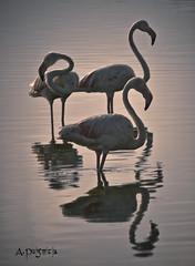Flamencos a Contraluz (bluesaps59) Tags: contraluz flamingos salinas laguna almera cabodegata flamencos fenicotteri nijar
